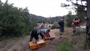 Manisa'da bin 500 keklik doğaya salındı