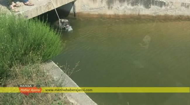 Su kanalına düşen domuzu vatandaşlar kurtardı