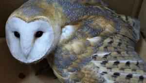 Tüfekle yaralanan peçeli baykuş tedavi edildi