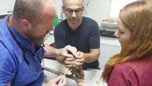 Boynuzlu baykuş tedavisinin ardından doğaya salındı