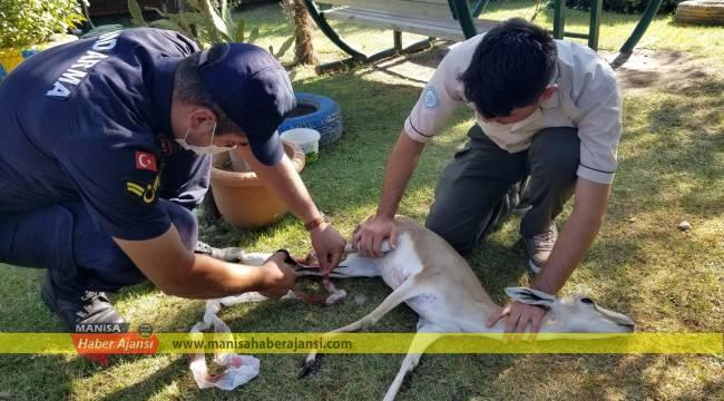 Jandarma Spil Dağı'nda yaralı karacayı kurtardı