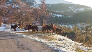 Spil'de yılkı atlarını beslediler