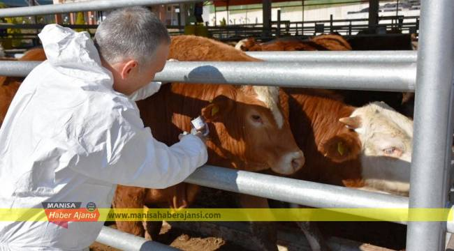 Manisa'da 230 bin büyükbaş hayvana şap aşısı uygulanacak
