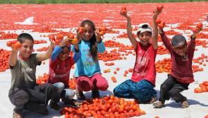 Salçalık domates ihtiyacının yüzde 18'i Manisa karşılıyor