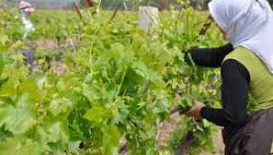 Avrupa ve Orta Doğu ülkelerine, üzümden sonra Manisa yaprağı ihracatı